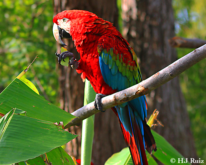 Red And Green Macaw H J Ruiz Avian101