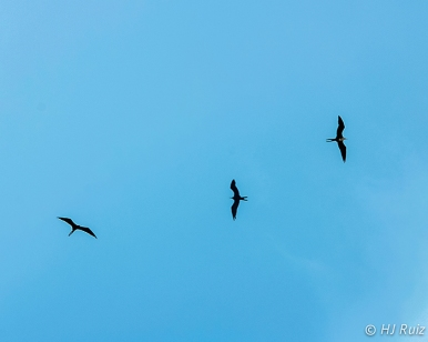 Magnificent Frigatebird gliding the thermals