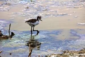 Lost  chick Black-necked Stilt