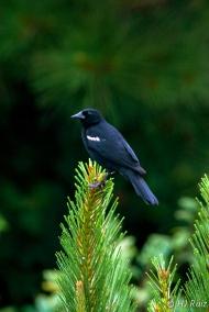 Red-winged Blackbird (M) (J)