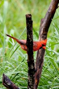 Northern Cardinal (M) (J)