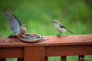 Confronting Mourning Dove for not allowing small birds to eat.