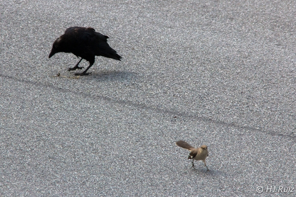 Mockingbird didn't like idea of crow taking a twig from his territory