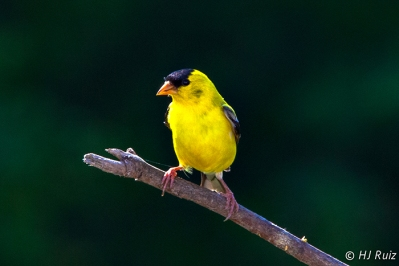 American Goldfinch (M)