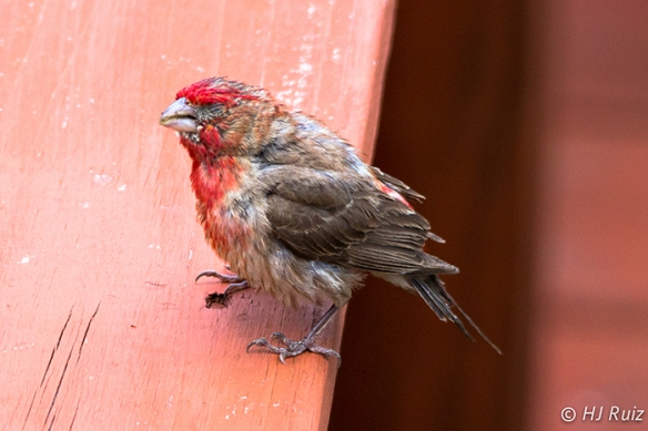 House Finch (M) Blind of one eye