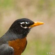 American Robin (M) or (F)