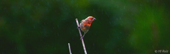 Male House Finch under rain -- Click on image to see enlargement -