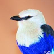 Blue bellied Roller