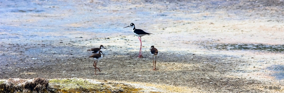 --- Black-necked Stilts ---  Click on image to see enlargement ---