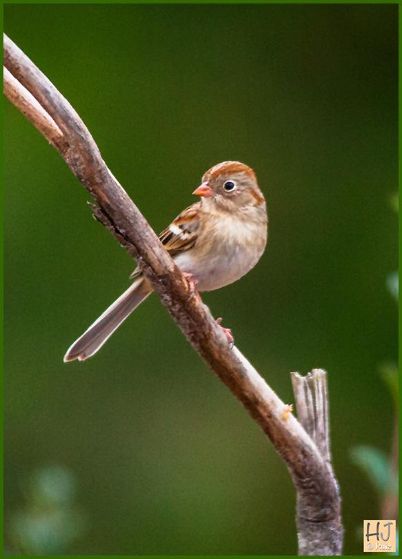 --- Field Sparrow ---