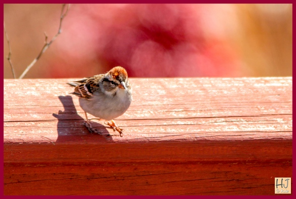 --- Chipping Sparrow ---
