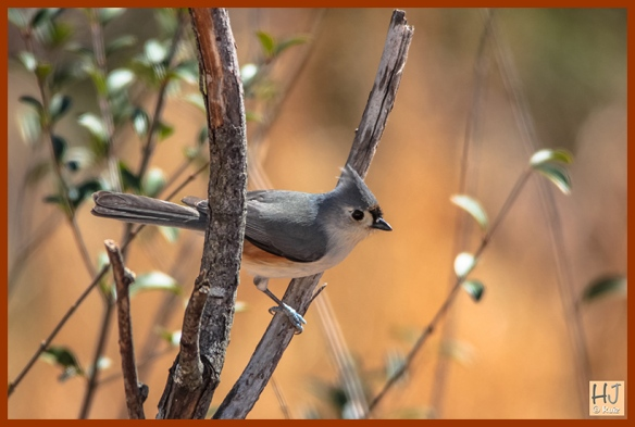 --- Tufted Titmouse ---