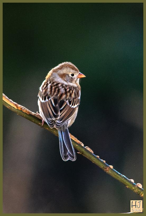 -- Field Sparrow --