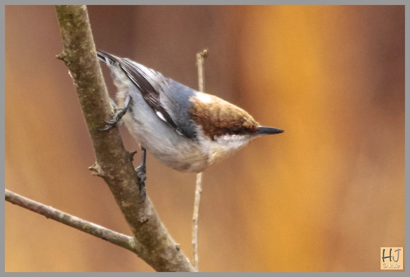 -- Brown-headed Nuthatch --