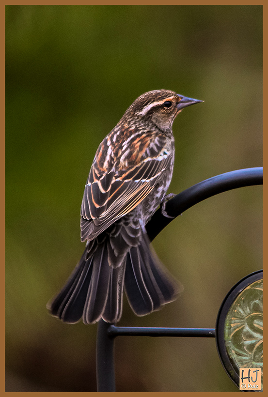 Red-winged Blackbird  (F)