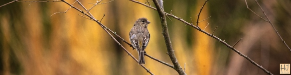 Female House Finch --- Click on image to see enlargement ---