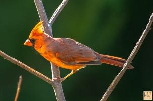 Northern Cardinal (M) juvenile
