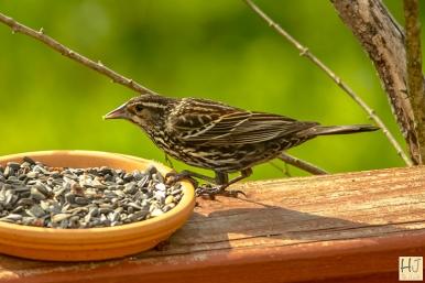 Red-winged-Blackbird (F) Juvenile
