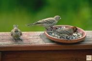House Finch -Male &female one fledgling