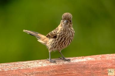 Fledgling House Finch
