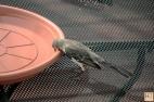 Thirsty Northern Mockingbird
