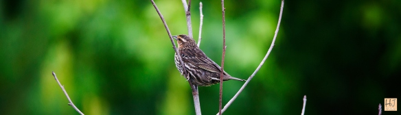 Female Red-winged Blackbird --- Click on image to see enlargement ---