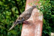 Mourning Dove (J)
