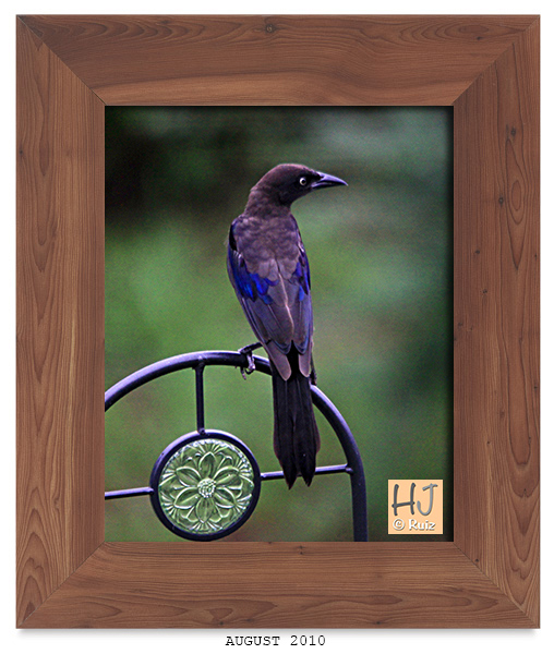 COMMON GRACKLE (M)