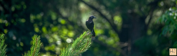 --- Common Grackle --- Click on image to see enlargement ---