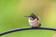 Ruby -throated Hummingbird