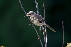 Northern Mockingbird (J)