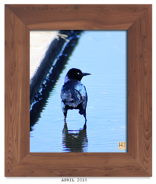 --  Male Boat-tailed Grackle -- April 2010