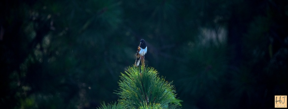 Eastern Towhee --- Click on image to see enlargement ----