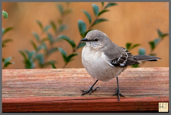 -- Northern Mockingbird --