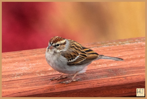-- Chipping Sparrow --