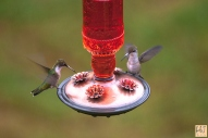 Females Ruby-throated Hummingbird