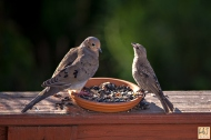 Mourning Dove and Brown-headed Cowbird (F)
