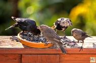 Notice Brown-headed Cowbird (Molting)