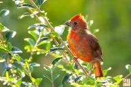 Northern Cardinal (J)