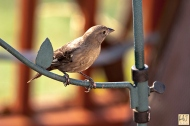 Brown-headed Cowbird (J) (F)
