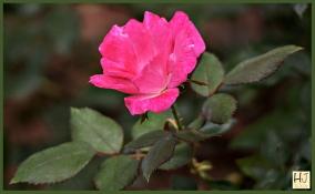 Pink ose
