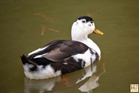 Muskovy Duck (F)