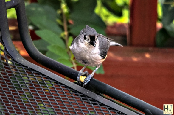 Tufted Titmouse - Frame # 1