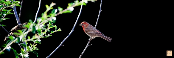 Male House Finch --- Click to see enlargement ---
