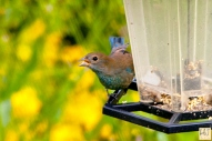 Blue Grosbeak (J) (Surprise visit)