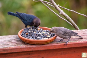 Brown-headed Cowbird (M&F)