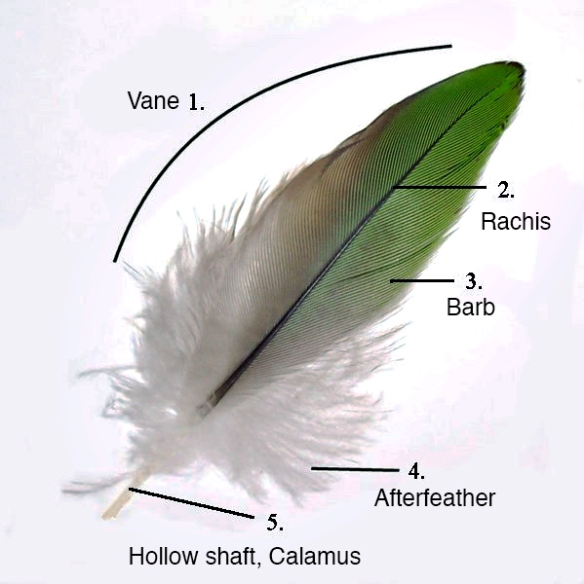Parts of a feather