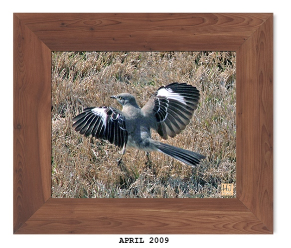 Northern Mockingbird -- April 2009