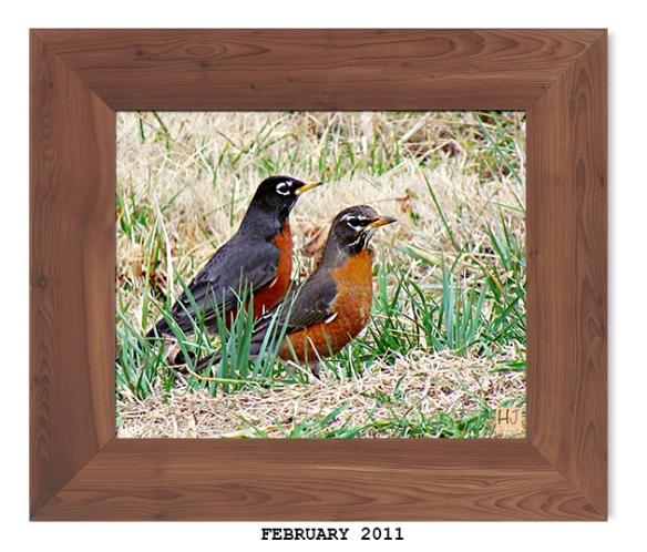 American Robin -- February 2011