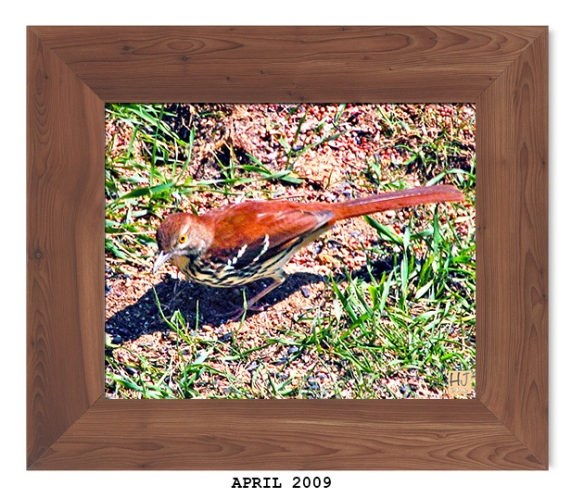 --- Brown Thrasher - April 2009 ---